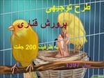 طرح-توجیهی-پرورش-پرندگان-زینتی-قناری-با-ظرفیت-200-جفت-سال-97